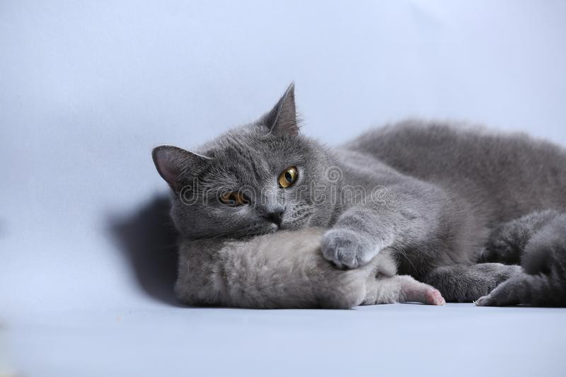 Cat takes care of kittens. British Shorthair mom cat feeds her kittens on gray background royalty free stock photos