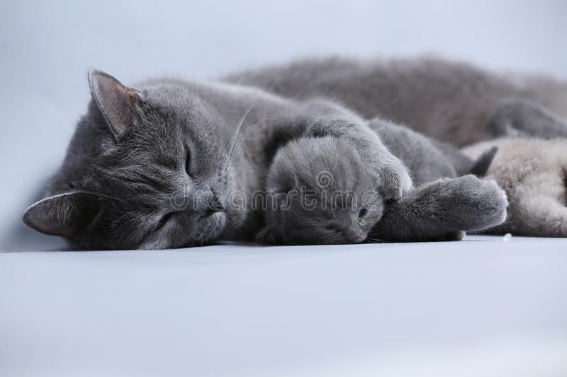 Cat takes care of kittens. British Shorthair mom cat hugs kitten royalty free stock photography