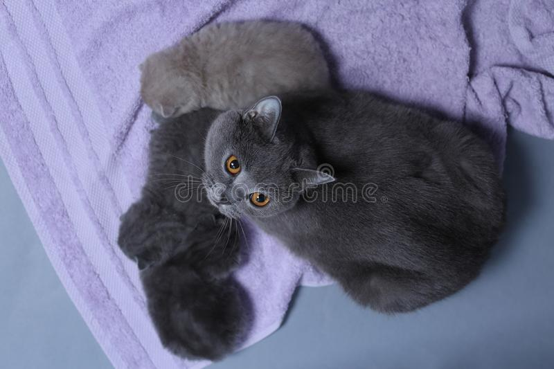Cat takes care of kittens royalty free stock photo