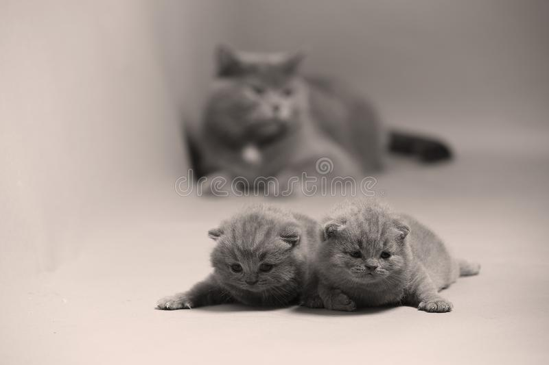 Cat takes care of kittens stock photo