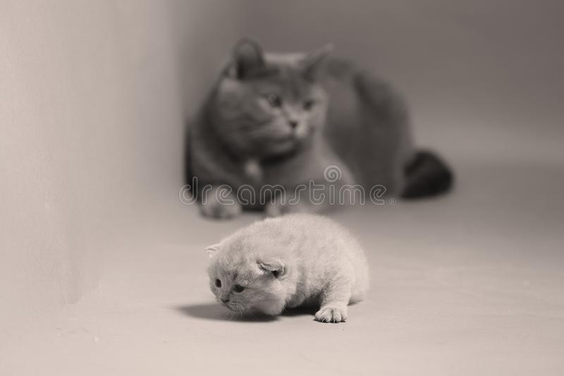 Cat takes care of kittens royalty free stock image
