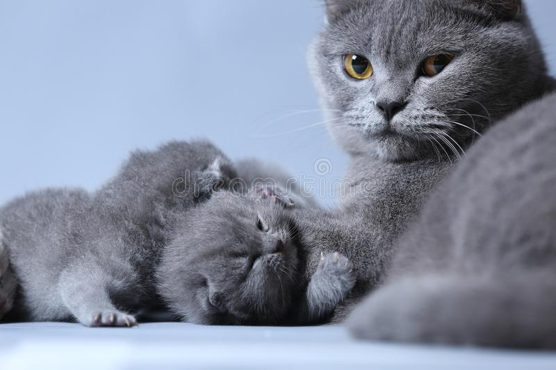 Cat takes care of kittens stock photography