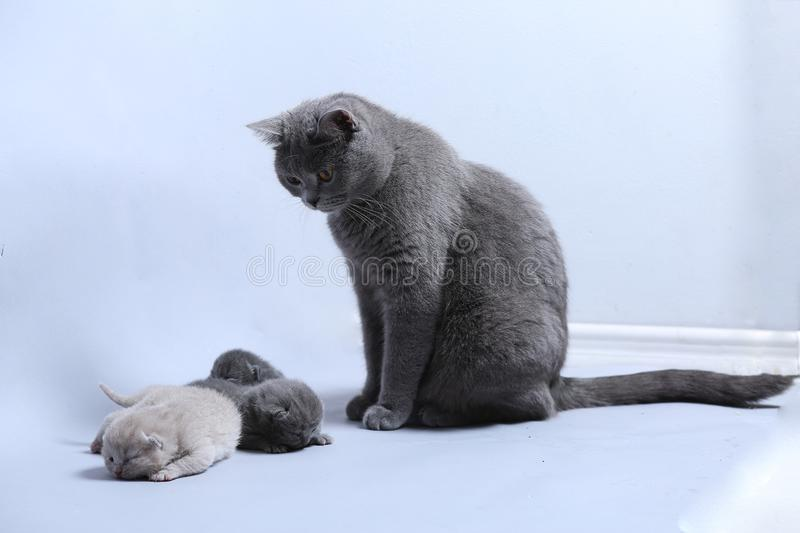 Cat takes care of kittens. British Shorthair mom cat taking care of kittens, white background royalty free stock photos