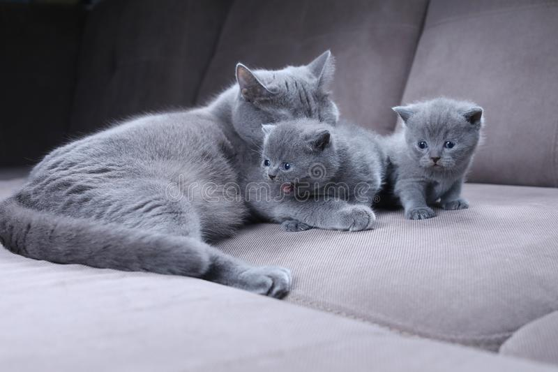 Cat taking care of her kittens on the couch royalty free stock image