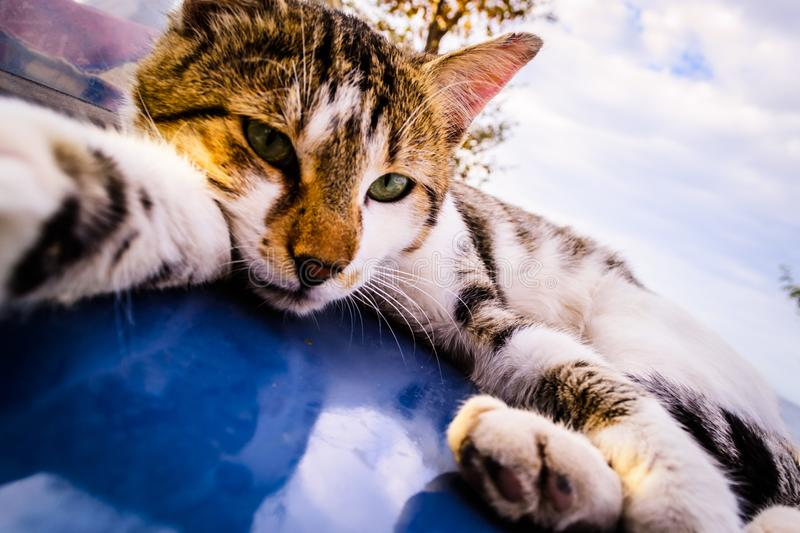 Cat Taking A Selfie. An alley cat lying down on the hood of a car on a street in a bright day and taking a self portrait royalty free stock images