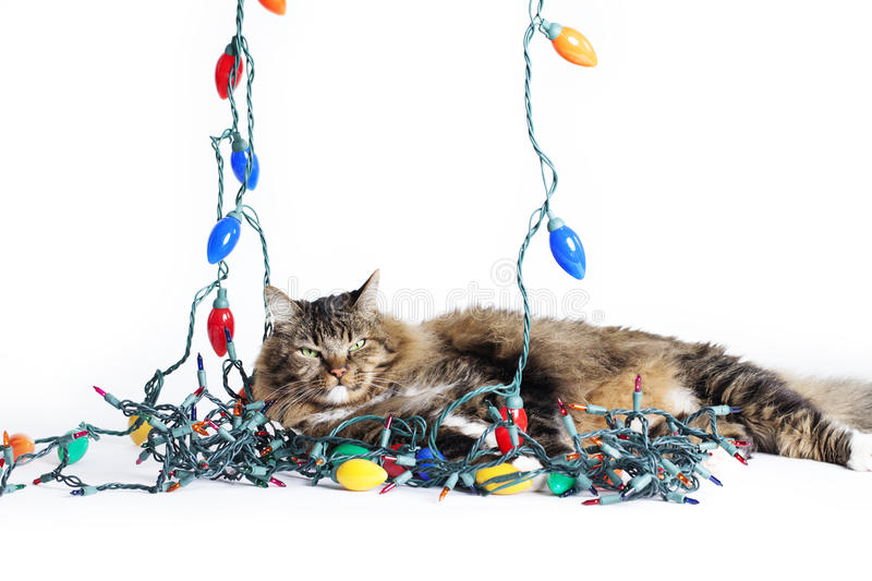 Cat Tangled Christmas Lights imagens de stock royalty free
