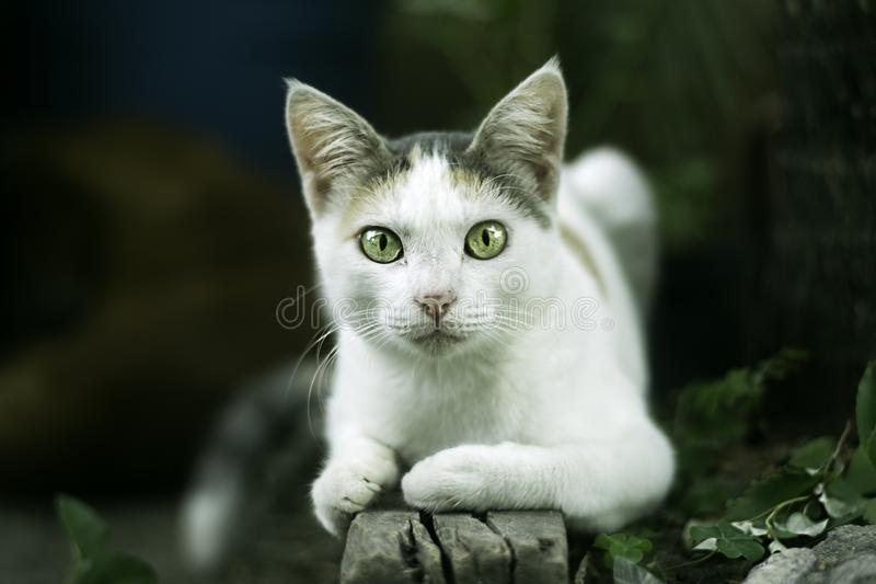 A cat on teu garden. White cat, with green eyes after feeling threatened, makes pose of attack on the lawn royalty free stock image