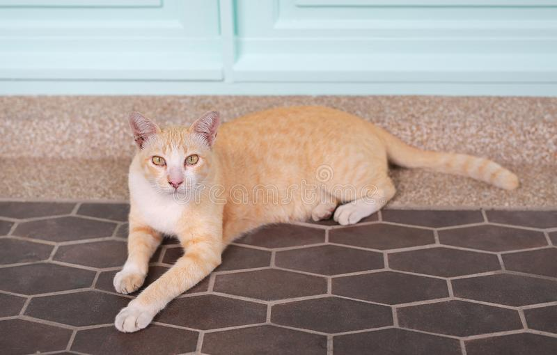 Cat thailand. Cute yellow striped cat lying on tiles floor with looking at camera stock image