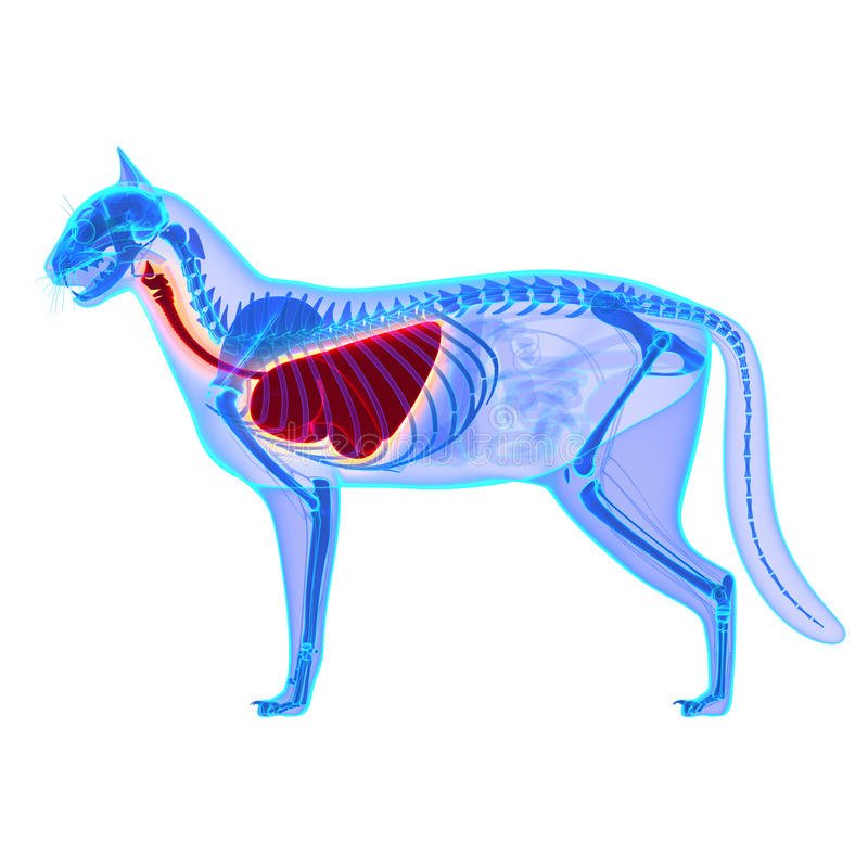 Cat Thorax-/Lunge-Anatomie - Felis Catus-Anatomie stockbilder