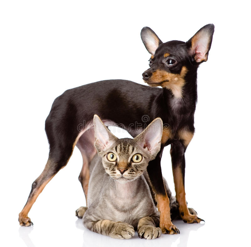 cat and toy-terrier puppy together. looking at camera. royalty free stock images