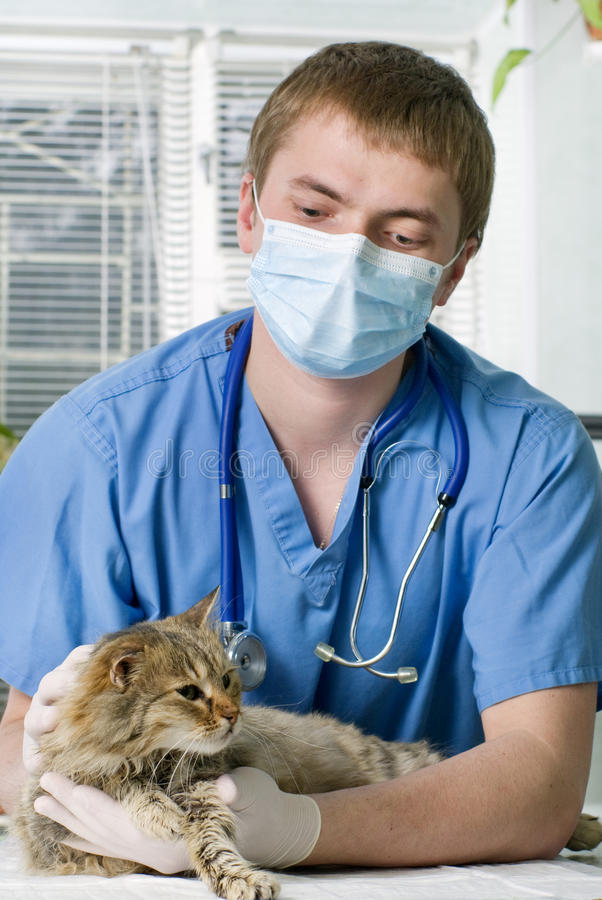 Cat treated by veterinarian. Wounded cat treated by veterinarian royalty free stock photography