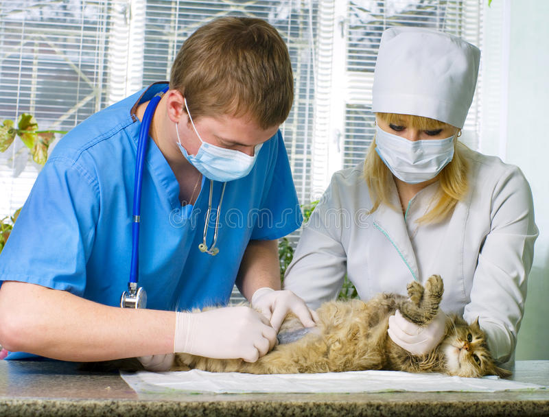 Download Cat Treated By Veterinarians Stock Image - Image of dosage, drug: 24577757