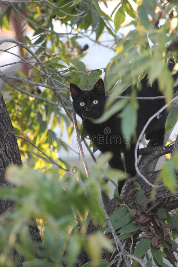 Cat on a tree. A black cat sitting on a pecan tree branch stock photo