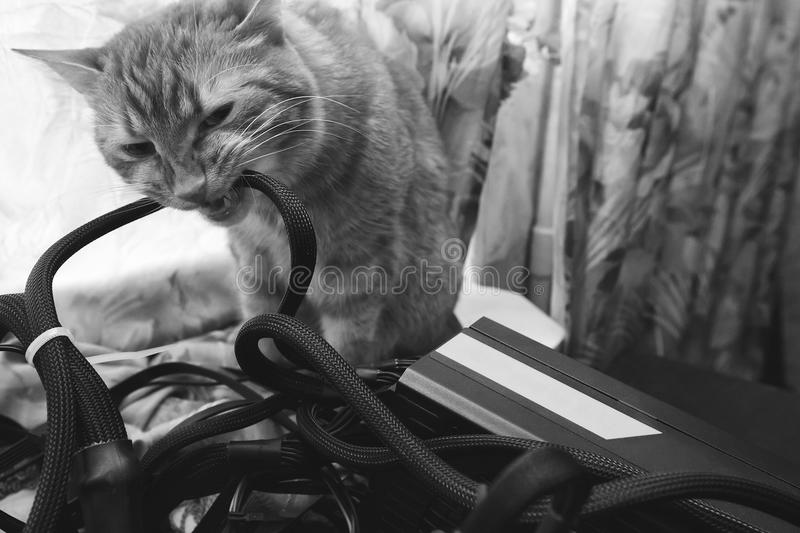 Cat Bite the Wires. Cat tries to Bite the Wires on Mining Computer Open Stand royalty free stock photos