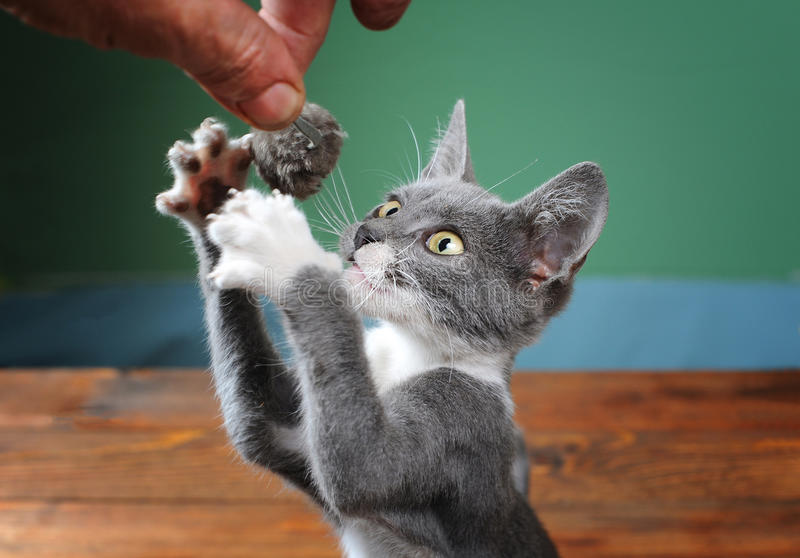 Cat tries to catch plush mouse stock photo