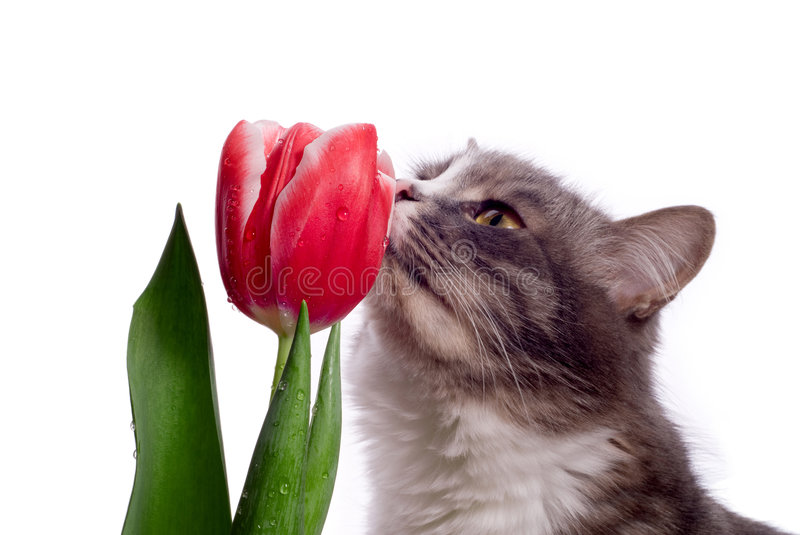 Cat With Tulip Stock Photography