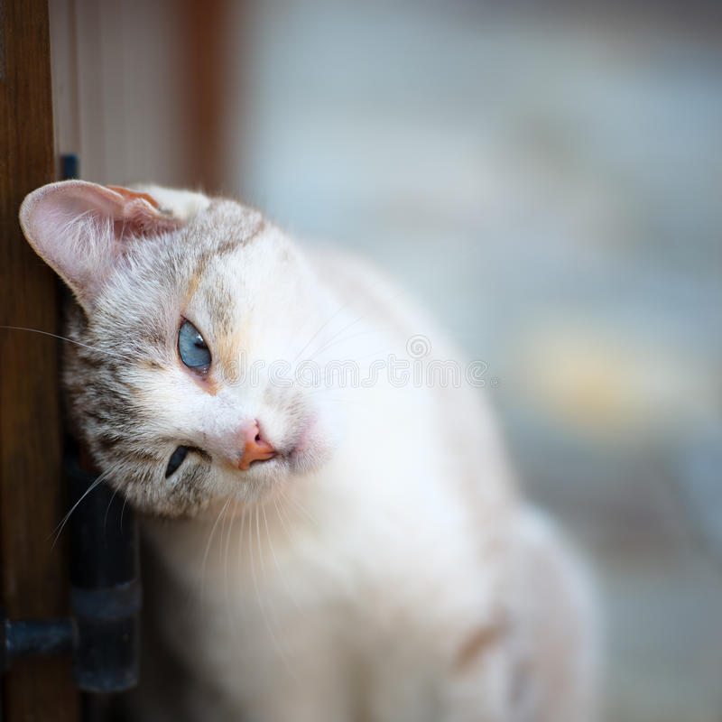 Cat with turquoise eyes royalty free stock photo