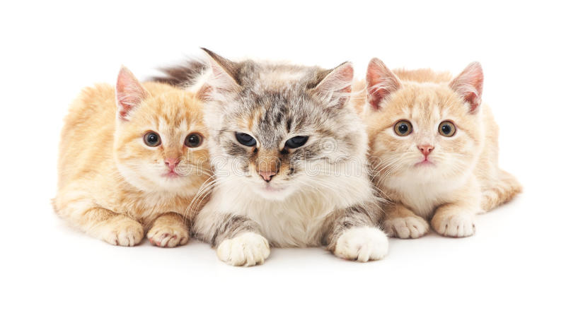 Cat and two kittens. royalty free stock photography