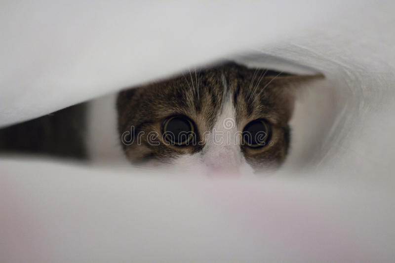 Cat under bed sheets royalty free stock photos