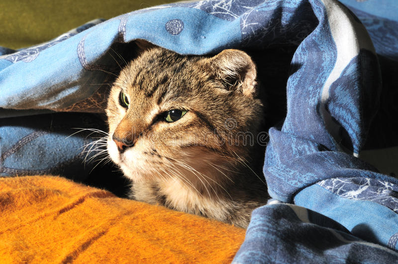 Download Cat under a blanket stock image. Image of beautiful, gray - 11653075