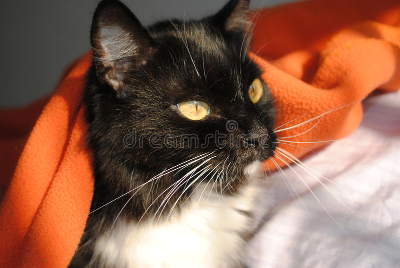 Cat In Bed Under Covers In Morning Sun Stock Photo