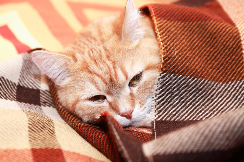 Cat Under Plaid foto de archivo libre de regalías