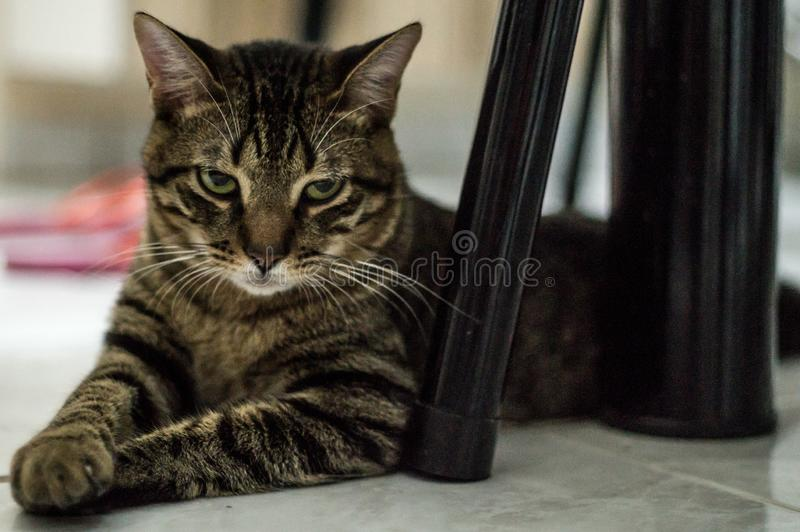 Cat under table and chair stock photography