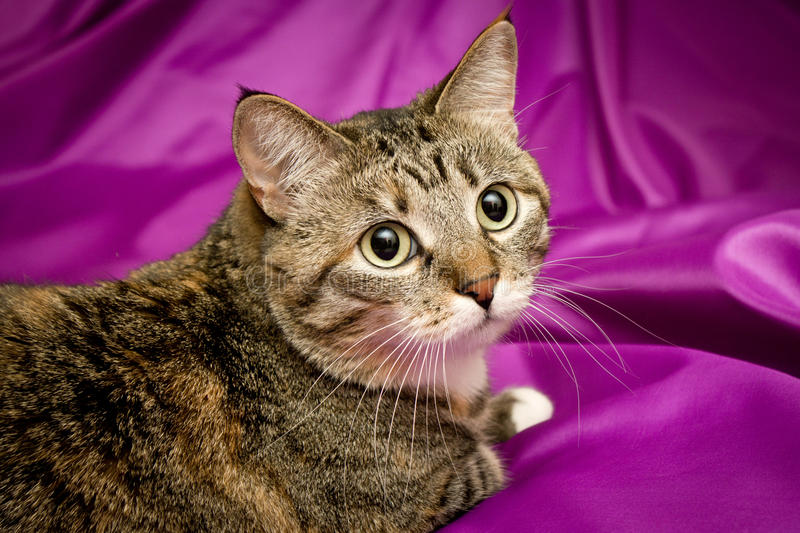 Cat On Violet Background Royalty Free Stock Image