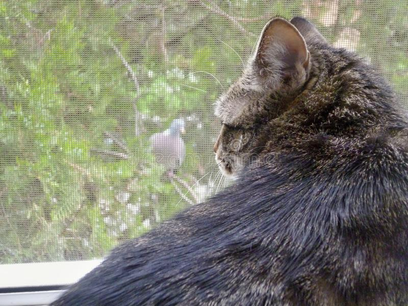 Cat vs. pigeon stock photography