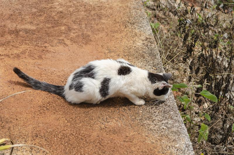 Cat In Wait. Black and white cat crouched with front feet lifting the body slightly off the ground, tail outstretched and tip turning upward, head stretched royalty free stock photo