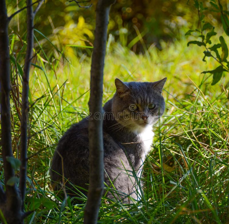 Cat hunter. Cat waiting for prey royalty free stock image