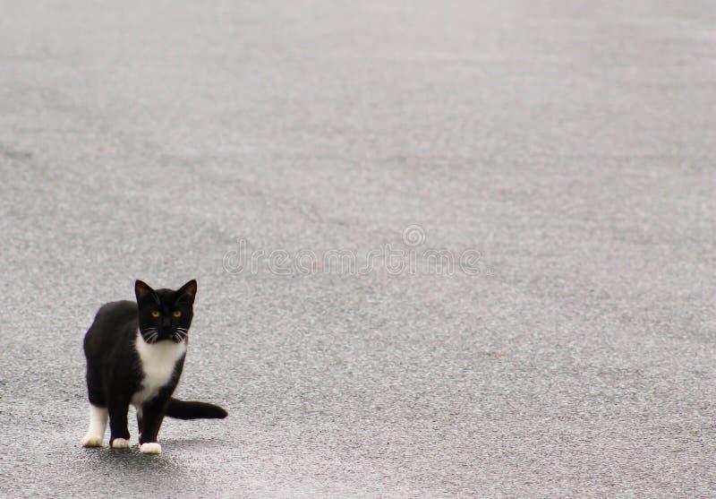 Cat Walk mal-humorada fotografia de stock