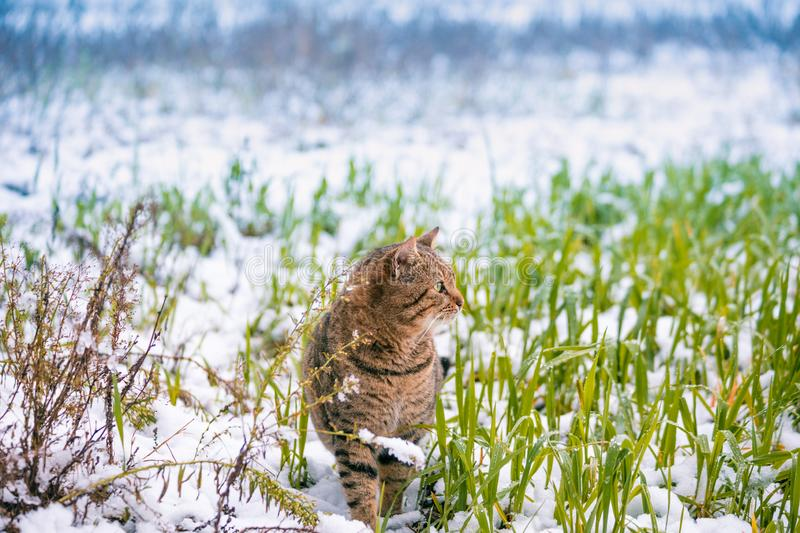 Cat walking in a field in green grass covered with first snow royalty free stock image