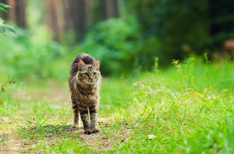 Cat walking in the forest stock photography