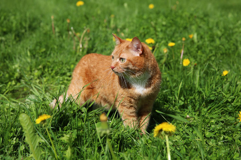 Cat walking on the grass stock photography
