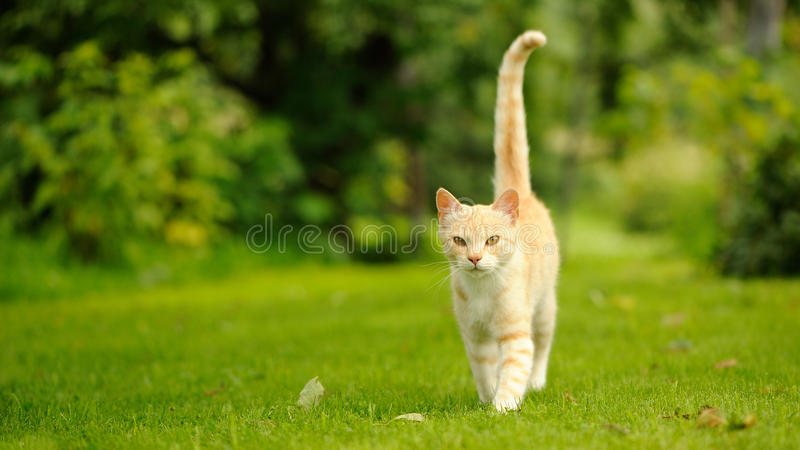 Cat Walking graziosa su erba verde (allungamento di 16:9) fotografia stock libera da diritti