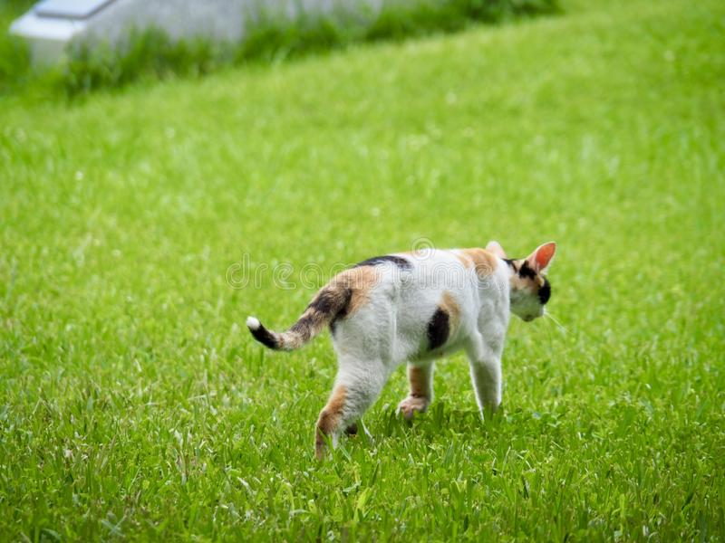 Cat Walking on Green Grass royalty free stock photos