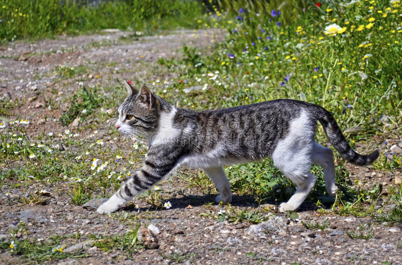Cat walking in the nature. A cat walking in the nature stock photos