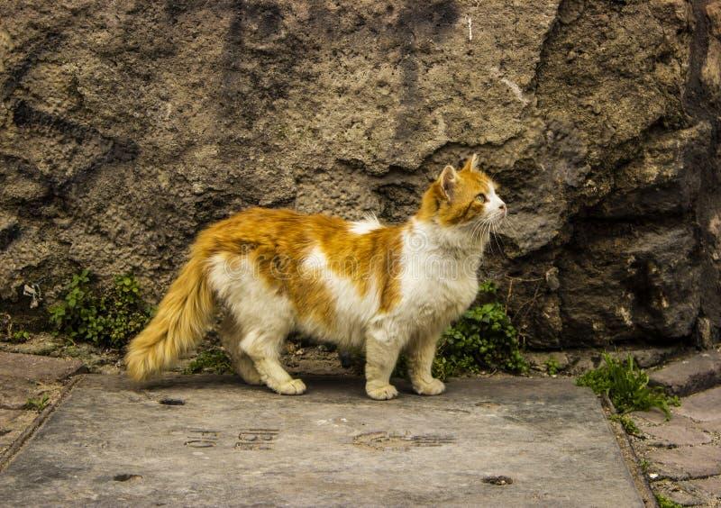 Cat Walking Near nova amarela macia a parede velha foto de stock royalty free