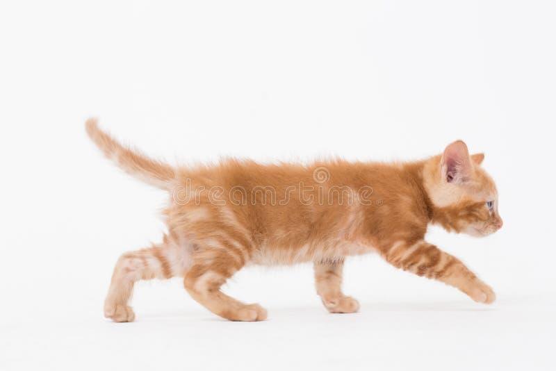 Cat walking over white background stock photo