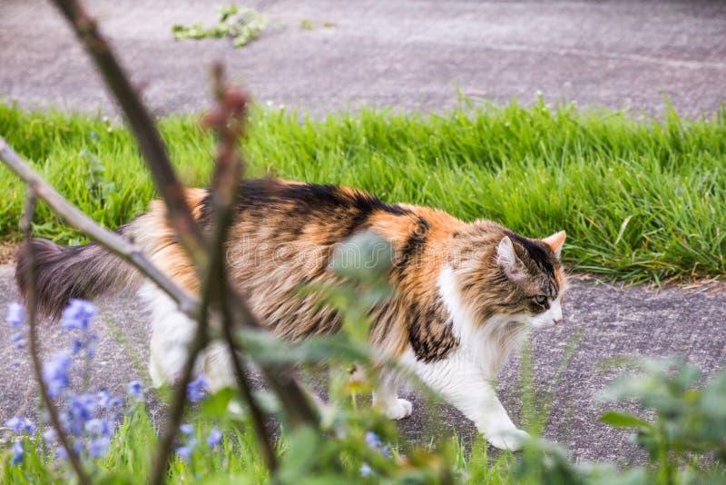 Cat Walking pelucheuse sur le trottoir photos libres de droits