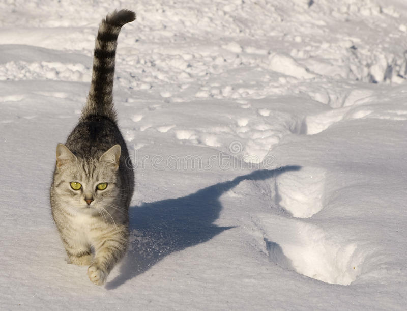 Cat walking in the snow stock photography