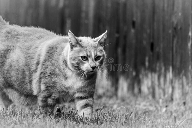 Cat Walking Through Yard By-Zwart-witte Omheining royalty-vrije stock fotografie