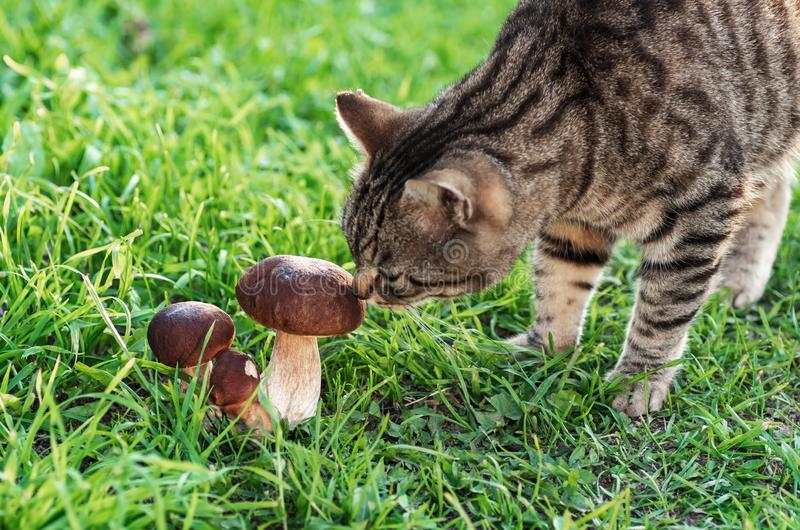 The cat walks on the green grass and sniffs edible mushrooms.  stock photography