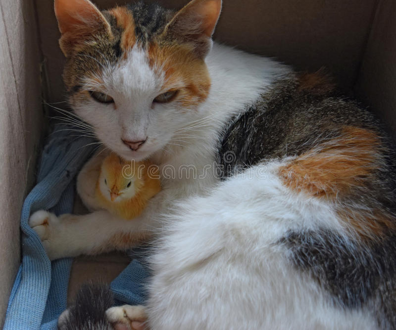 Cat warms chicken. Cat takes a chicken for her cub stock photos