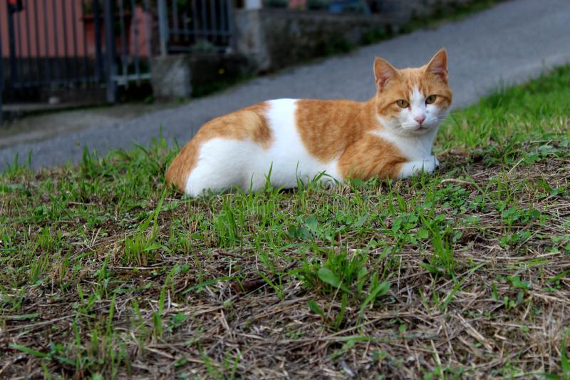 The orange white cat. This cat was in the field of the olivetrees. Relaxing in the sun royalty free stock image