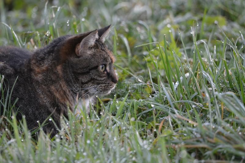 Cat hunting in the Netherlands. This cat was hunting,starring at his prey location: De groene jonker the netherlands royalty free stock image