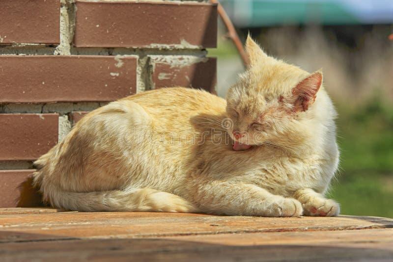 Cat Washes Rojo-dirigida foto de archivo libre de regalías