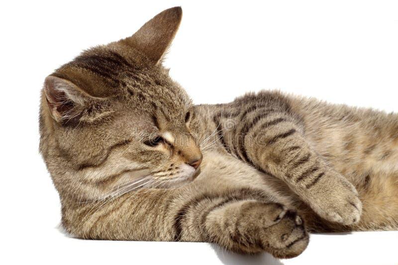 Cat washing stock photography