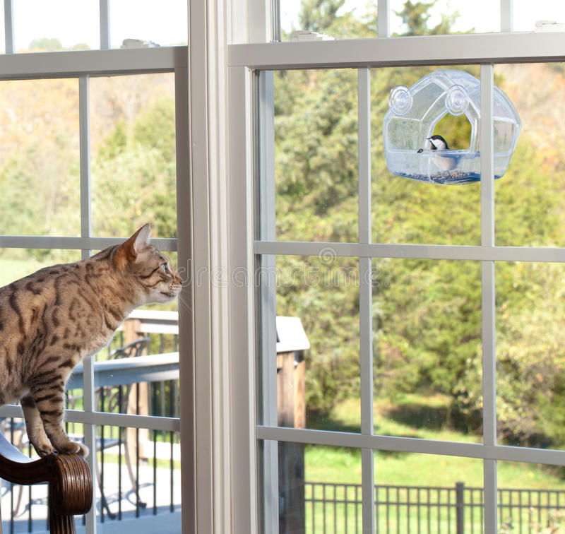Download Cat Watching Bird On Feeder Stock Photo - Image of plumage, songbird: 21815846